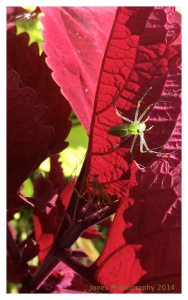 A green garden spider on red coleus. provides striking contrast.