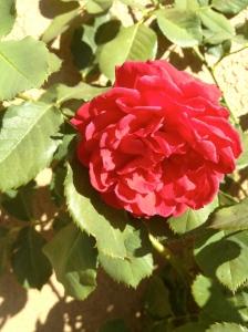 Roses. In February.