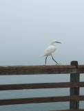 Egret posing for my camera on the Oceanside pier.