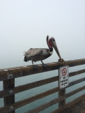 I'm guessing this is a California Brown Pelican. His beak can hold more than his belly can, you know...