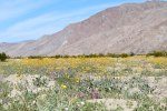 Wildflowers of Anza Borrego Desert State Park