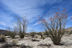 Ocotillo in bloom, Anza Borrego Desert State Park