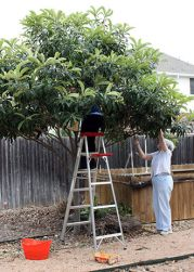 Photo from blog Full and Content- click to go to the post about Loquats...