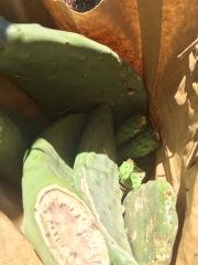 Bag o' Cactus Starts