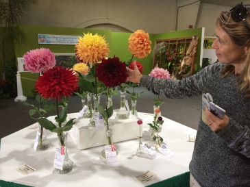 Huge dahlias!