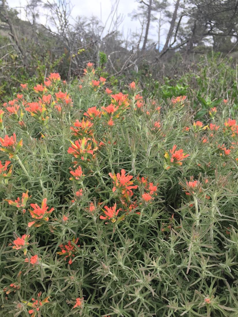 Wednesday's Wildflowers- Torrey Pines StateReserve