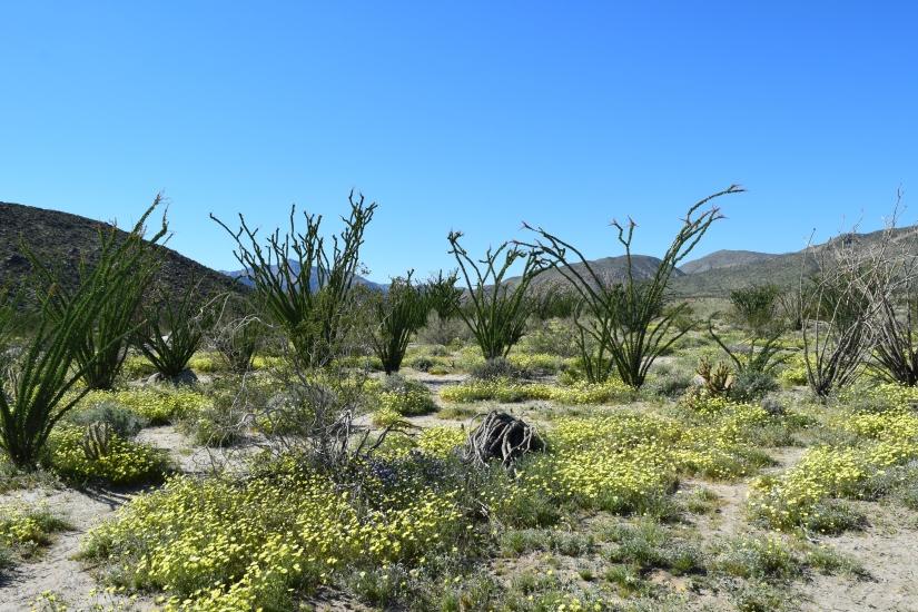 """Anza Borrego Desert State Park- Wildflower """"Super Bloom"""" March2017"""