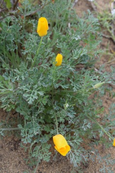 CA Golden Poppy