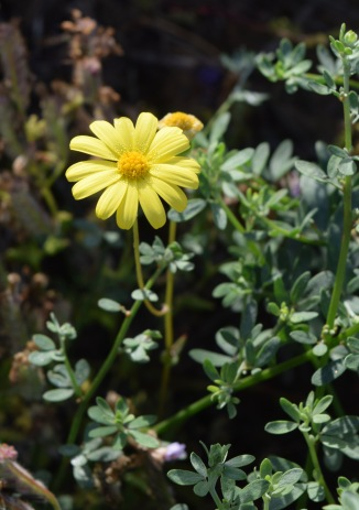 California Butterweed (I think...?)
